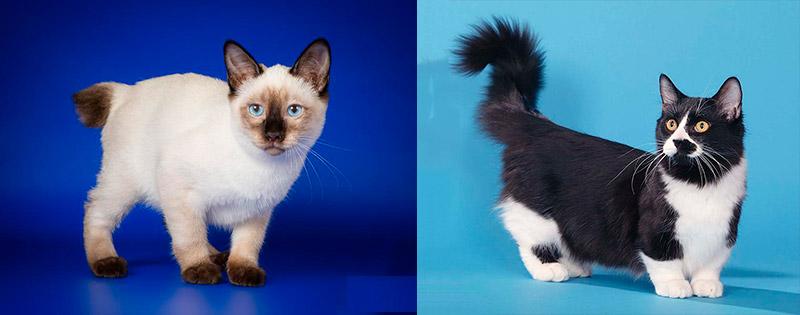 Сравнение коротколапой с миниатюрной породой кошек